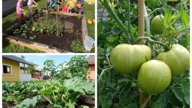Lastehoiu peenras sirguvad köögiviljad